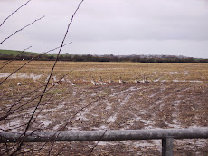 Greylags on the wheat field