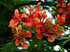 Flamboyante flowers in Summer