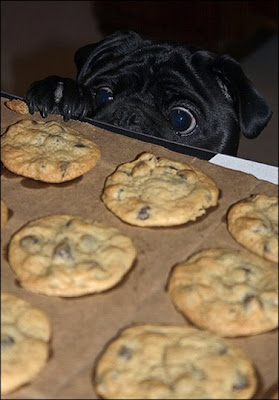 Pug and cookies