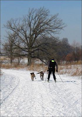 Dogs skiing