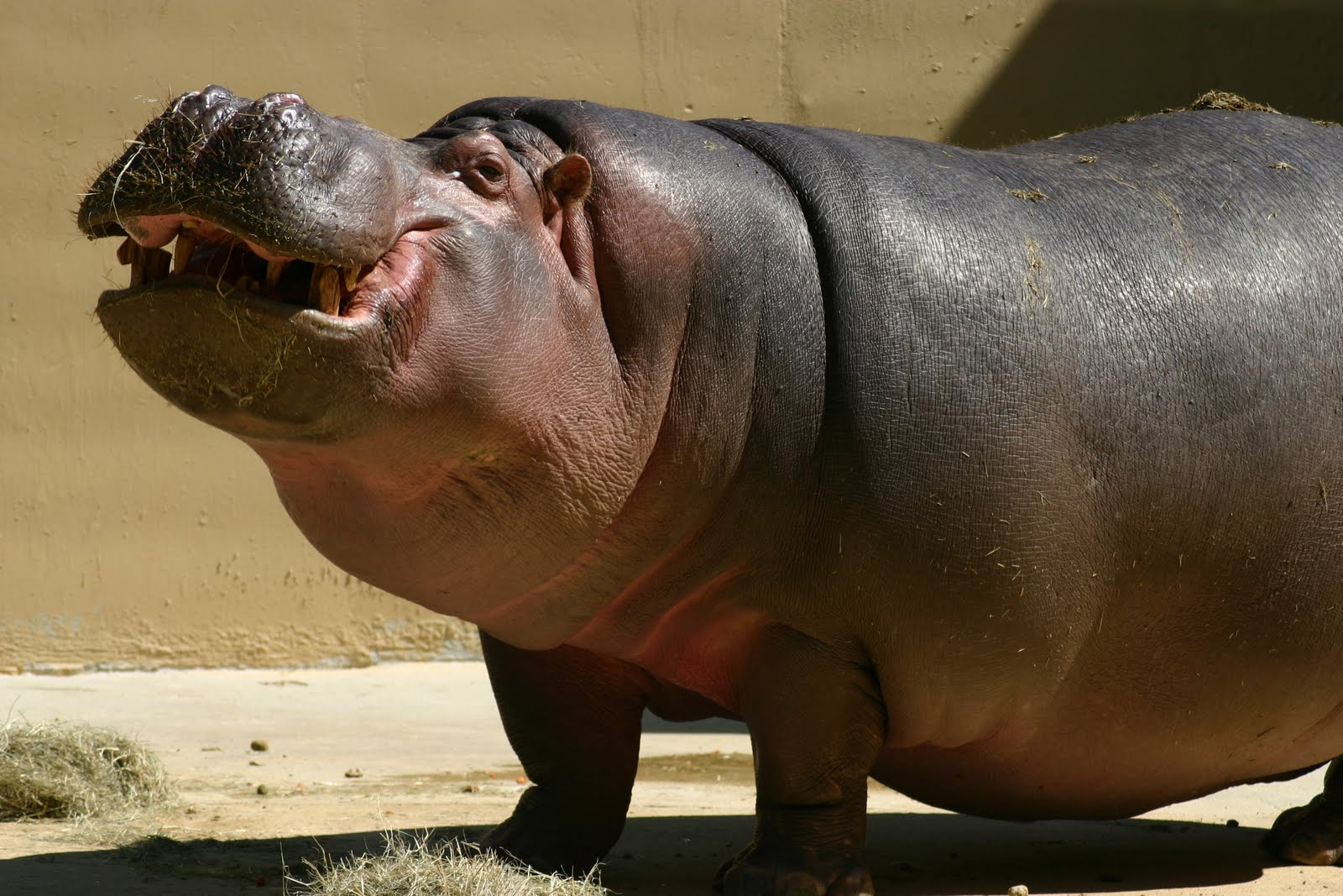 hippo girls
