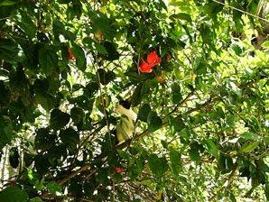 Cisca e o pé de hibiscos