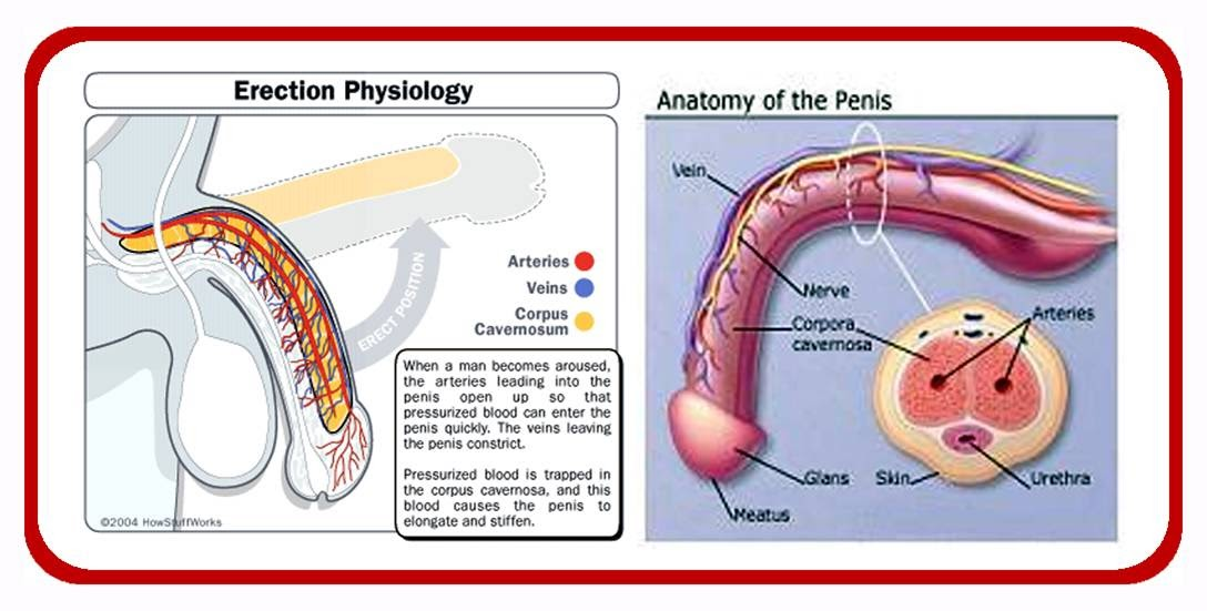 penis elongation