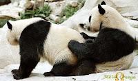 Sexo entre Ursos Pandas