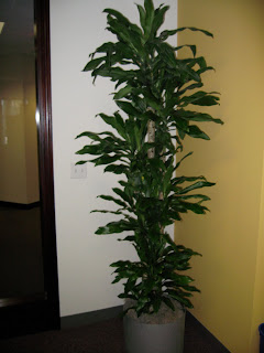 tall office plants. Contemporary Plants Mona Lisas Are Tall Narrow And Stately Interior Office Plants Grown On  The Island Of Hawaii In Their Native Lava Rocks Hydroponically  Lisa  Janet  Inside Tall Office Plants S