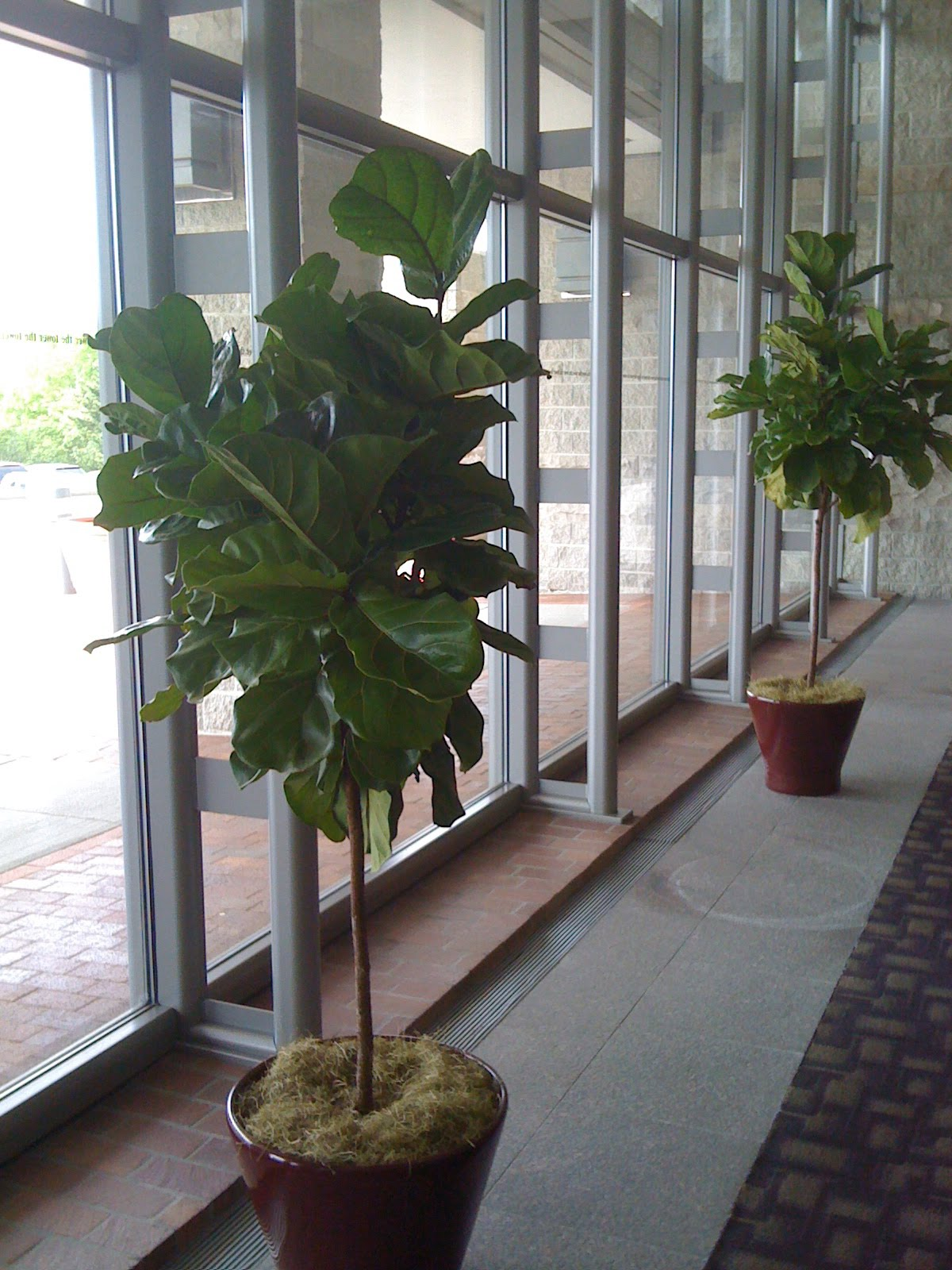 pdi plants blog why use fiddle leaf ficus as one of your