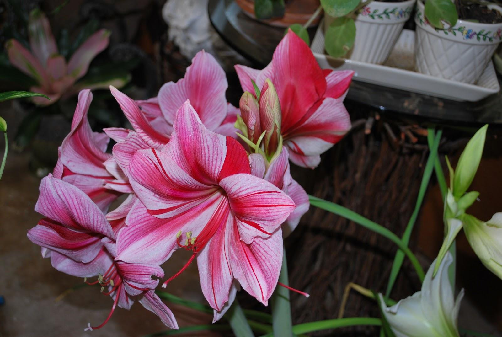 naturalist in fiber glorious amaryllis in bloom. Black Bedroom Furniture Sets. Home Design Ideas
