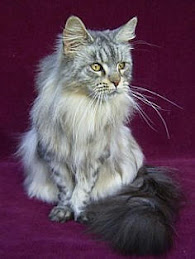 Warrior-Grayshadow-she-cat