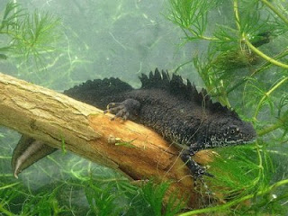 Male Great Crested Newt. Photo: James Grundy