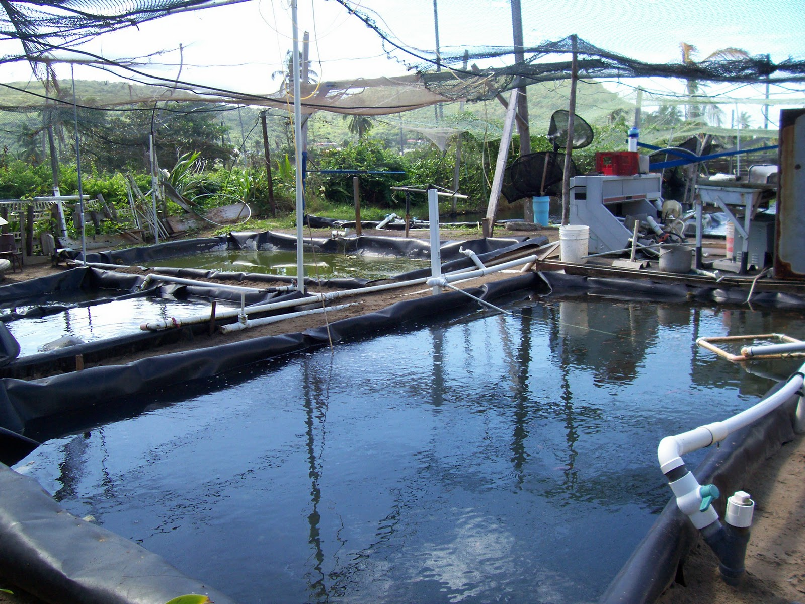 Lara in st kitts snapper fish farm for Fish farms in texas