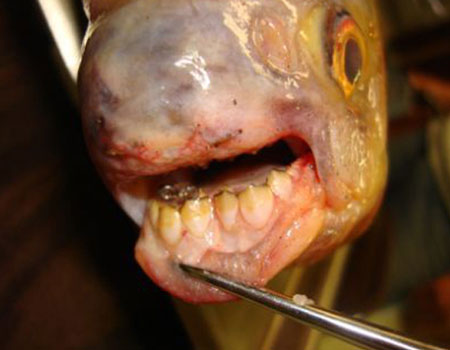 Ugly overload fish with teeth for Pacu fish teeth