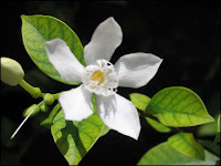 Wrightia antidysenterica (Snowflake, Milky Way)