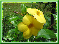 Yellow Allamanda with very large flowers, in the vicinity