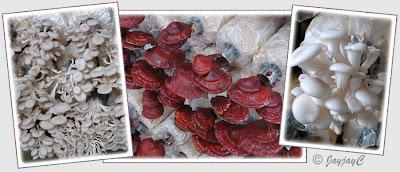 White Oyster Mushroom (Pleurotus species), Ling-zhi Mushroom (Ganoderma lucidium), Monkey Head Mushroom (Hericium erinaceus)