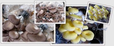 Pleurotus species - Grey Oyster Mushroom and Yellow Oyster Mushroom
