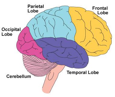 [Brain.jpe]