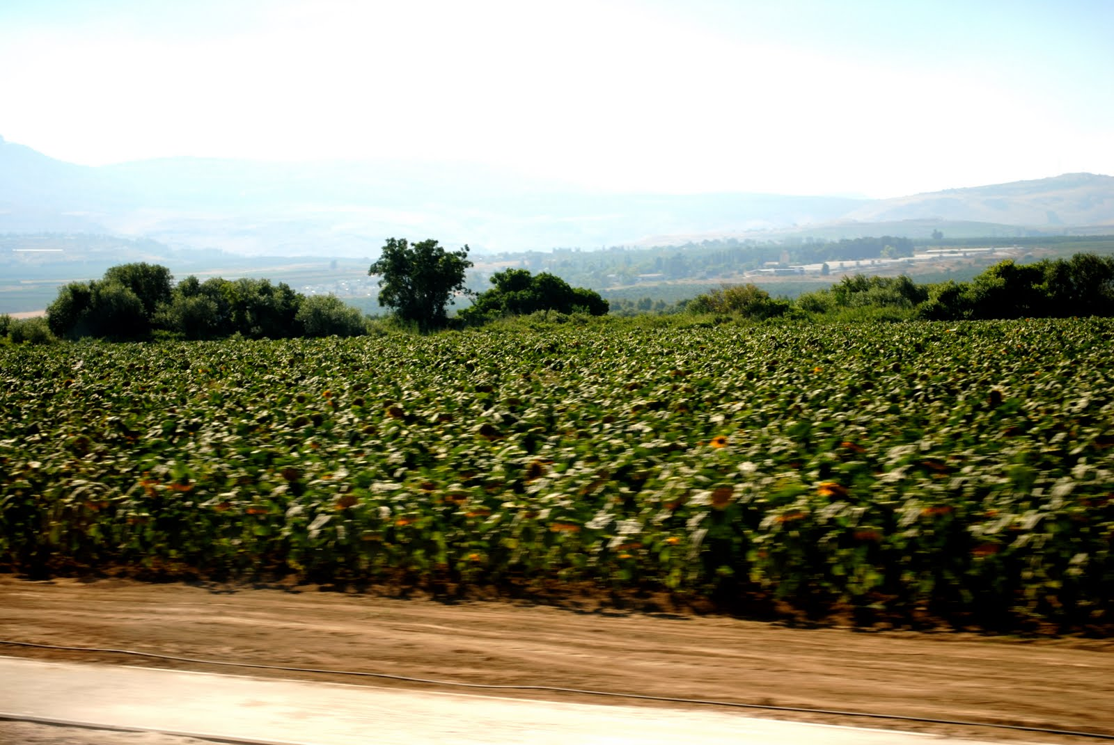 One of the many sunflower fields we drove past i don t know why the