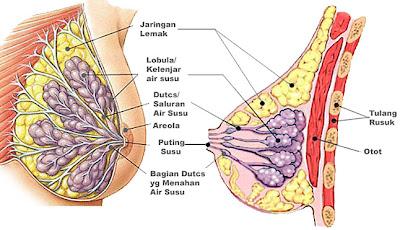 http://1.bp.blogspot.com/_yz8GU9LOiog/S_6P_MHnATI/AAAAAAAAAaw/sUtuJHtQydc/s400/anatomi_payudara_2.jpg