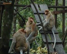 Bekantan di Hutan Mangrove Tarakan Borneo - Ardiz