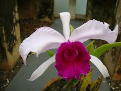Cattleya Giga