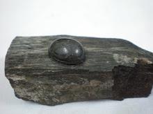 Fosil Batu Teras Gemunggal Hitam