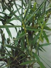 Pokok Raja Buluh Perindu