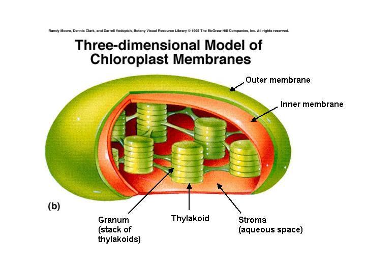 overview of plant cell. +cells+and+plant+cells