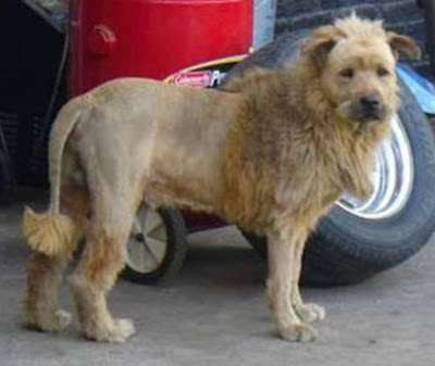 Black Chow Chow Lion Cut Lion turned around... . .