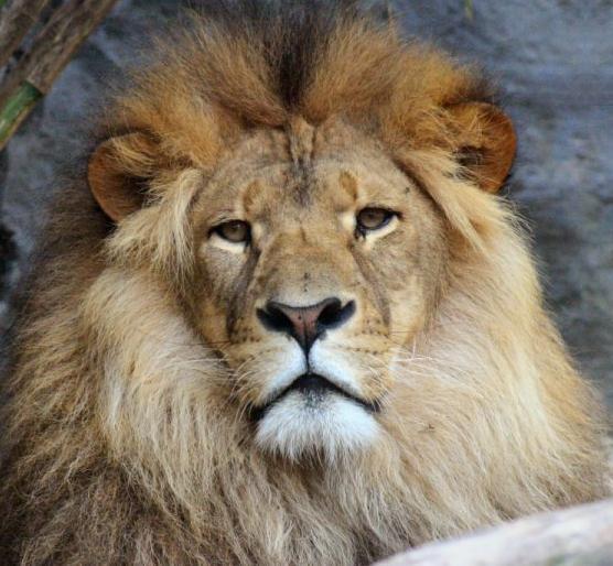 [Lion+Pix.jpg]