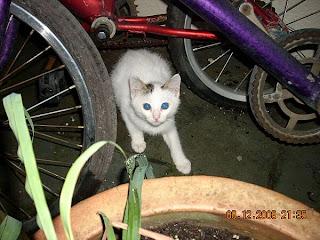 anak kucing putih cantik
