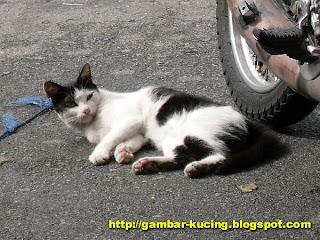 gambar kucing terbiar
