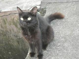 Gambar kucing hitam yang bermata bulat dan berbulu cant