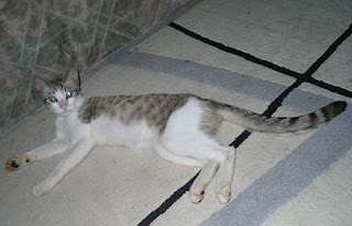 the picture of the cat that has long tail