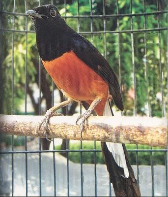 baguz achmad: Perawatan Burung Murai Batu