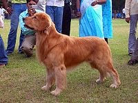 golden retriver 3