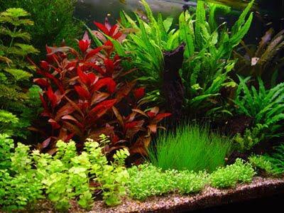 aquarium: le piante in acquario: il posizionamento - Allestimento Acquario Dolce Con Piante Vere