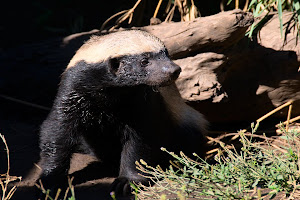 Honey badger in Moholoholo Wildlife Rehabilitation Centre, Limpopo Province, South Africa © Matt Prater