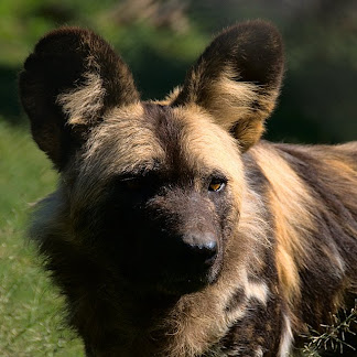 Wild dog in Moholoholo Wildlife Rehabilitation Centre, Limpopo Province, South Africa © Matt Prater