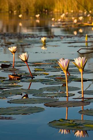 Water lilies, Okavango Delta, Botswana © Matt Prater