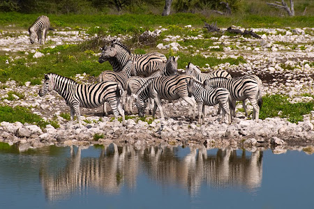 Zebras at watering hole, Etosha National Park, Namibia © Matt Prater