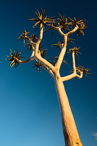 Quiver tree, Fish River Canyon, Namibia © Matt Prater