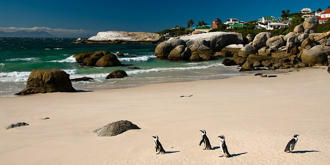 African penguins on Foxy Beach, Boulders Bay, South Africa © Matt Prater