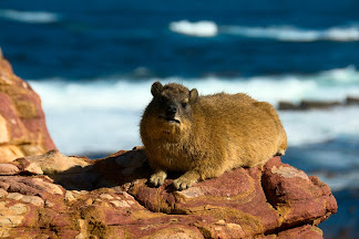 Dassie, Cape of Good Hope, South Africa © Matt Prater