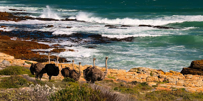 Ostriches near the Cape of Good Hope, South Africa © Matt Prater