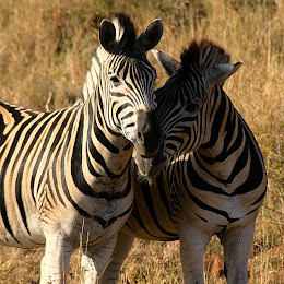 Two zebras nuzzling, Hluhluwe-Umfolozi Game Reserve, South Africa © Matt Prater