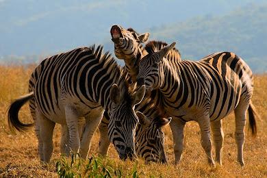 Zebras, Hluhluwe-Umfolozi Game Reserve, South Africa © Matt Prater