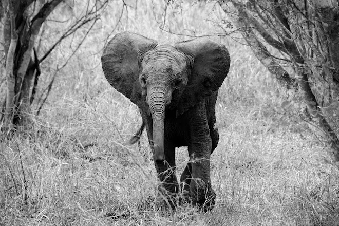 Young elephant in Kruger National Park, South Africa © Matt Prater