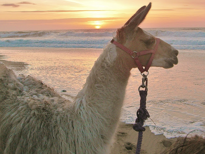 Llamas love to walk on the beach.