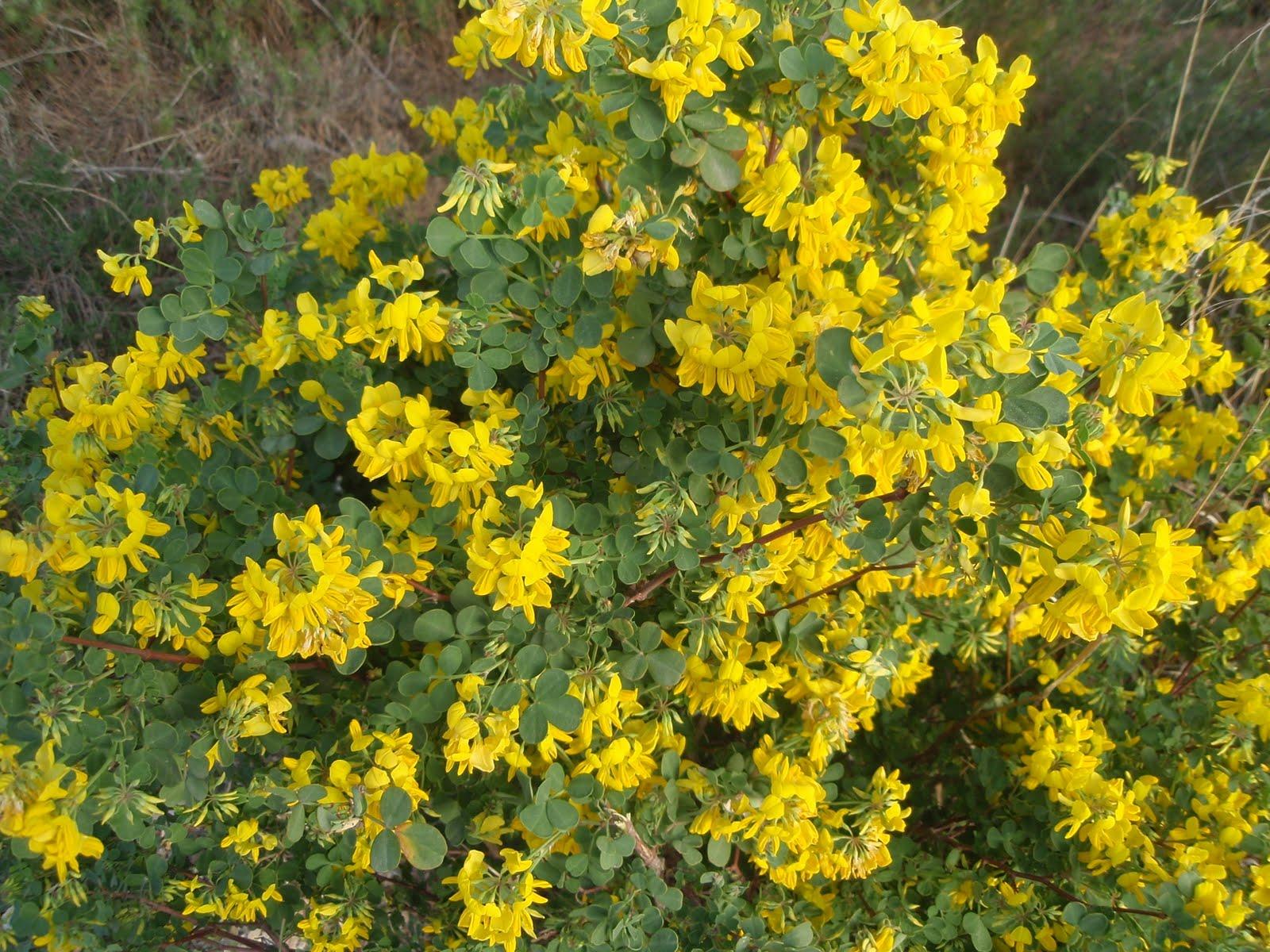 Herbario virtual de banyeres de mariola y alicante 27 abr for Arbusti sempreverdi resistenti al freddo
