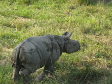 Wild rhino in Chitwan National Park